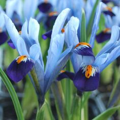 Dahlias, Alliums, Tulips and a huge range of other bulbs for spring and summer flowering