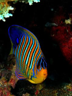 Regal Angelfish. Come And Visit Us At. - http://WhatIsTheBestMountainBike.com/