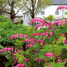 The old-fashioned Bleeding Heart has been a garden favorite for years. It bears long arching racemes of heart-shaped pink flowers. Bloom time starts here in early May and lasts several weeks, subsiding with the arrival of summer heat. Plants often go dormant in mid-summer. Interplant with Ferns and Hostas to fill the breach. If moisture is reliable, they will grow in full sun here in Litchfield. Long-lived and reliable year after year.