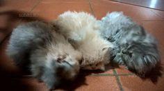 Gattini persiani - Animali In vendita a Arezzo