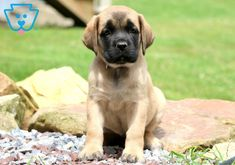 "The breed is commonly referred to as the ""Mastiff"". Also known as the English Mastiff this giant dog breed gets known for its splendid, good nature. Mastiff Puppies For Sale, English Mastiff Puppies, Cockapoo Puppies, Fluffy Puppies, Chihuahua Puppies, Bulldog Puppies, Cute Puppies, Dogs And Puppies, Mastiff Breeds"