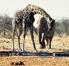 Giraffe and Elephant, best friends. @Haydn Owens