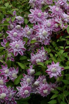 ~Clematis'Josephine' Early Large-Flowered Group
