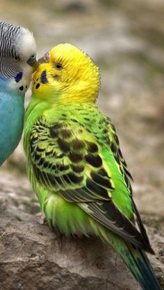 Two, Budgies, Parrot, Birds, Animal, Love