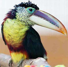 Curl-crested toucan. Více o poutavosti sociálních médií na www.nifos.cz #socialnimedia #socialnisite