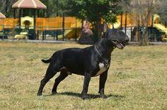 Beautiful black bull terrier
