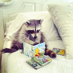 This book is a real page turner! Pumpkin the baby raccoon reading winnie the pooh. Rocky Raccoon, Baby Raccoon, Racoon, Animals And Pets, Baby Animals, Funny Animals, Cute Animals, Funny Raccoons, Mundo Animal