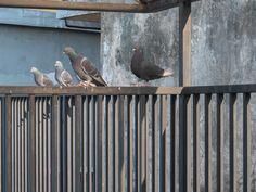 piccioni in prima fila - nel mio cortile si riuniscono spesso dei piccioni e amano farsi fotografare. Da notare che avevo la compatta e l'ho lasciata così, senza regolazioni.