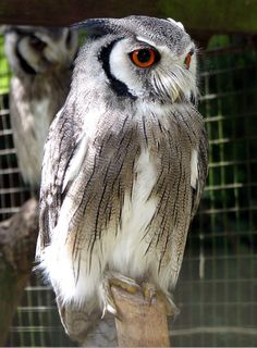 The northern white-faced owl (Ptilopsis leucotis) is a species of owl in the Strigidae family. It is found in a band across Africa between the Sahara and the Equator. It can transform its body in response to threats. Owl Silhouette, Owl Species, Screech Owl, Owl Photos, Owl Pictures, Beautiful Owl, Horned Owl, Owl Bird, Owl House