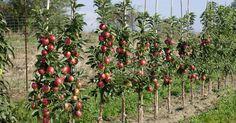 Säulenäpfel werden immer beliebter, weil sie sich auch für kleine Gartenflächen und die Kübelbepflanzung eignen. Diese Tipps gilt es bei Schnitt und Pflege zu beachten.