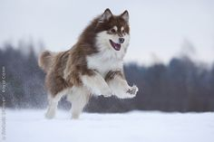 Royal Canin - Breed - Finnish Lapphund I need to have this… @Ashliegh Kamp