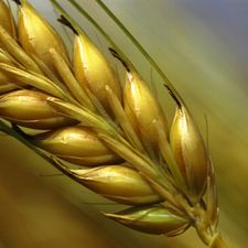 How to Store and Use Wheat in Your Food Storage