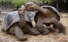 giant turtles a - Bing Images