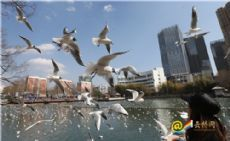 A Date with black-headed seagulls in Kunming