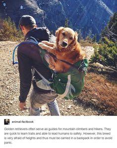 Golden Retriever in a Backpack