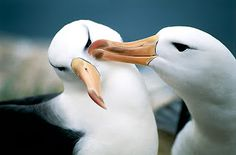 anf_albatross_b.jpg 320×211 pixels