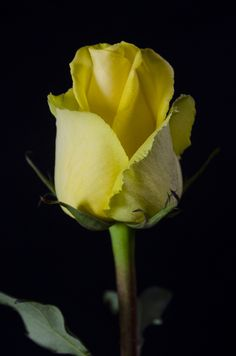 These Yellow Roses, fresh lemonade. Yellow Flowers, Colorful Flowers, Pink Roses, Rose Pictures, Flower Photos, Pretty Roses, Beautiful Roses, Flowers Nature, Love Flowers