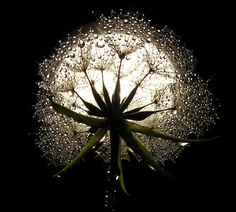Part What is a Moon Garden? This is the first of a 4 part series on moon gardens. What is a moon garden? A moon garden is a type of garden design meant to be enjoyed in the moonlight. Moon gardens contain white flowers and silvery foliage that seem. Moon Pictures, Pretty Pictures, Virgo Moon, Capricorn, Dandelion Wish, Dandelion Seeds, Dandelion Art, Moon Magic, Beautiful Moon