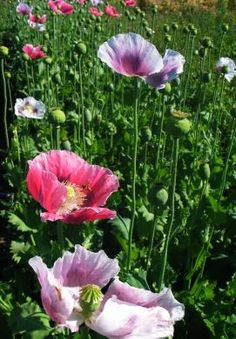 Poppy 'Ziar Breadseed'  *Back!*