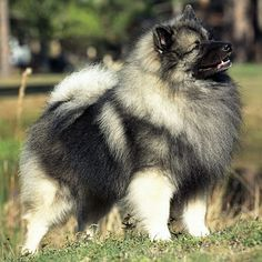 Keeshond - our little one will look like this when he's grown up!