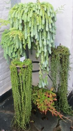 Love the trailing plants. Inside Plants, Plants, Succulents, Trailing Plants, Cactus Garden, Outdoor Plants, Container Gardening, Indoor Plants, Planting Succulents
