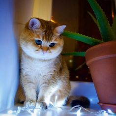 Kitty held spellbound by Christmas lights