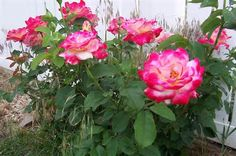 epsom salt for roses you are going to love the way your roses look, flowers, gardening, repurposing upcycling