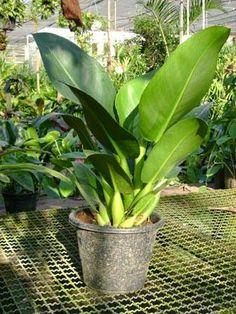 plante tropicale interieure pinterest - Recherche Google