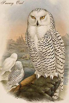 Buyenlarge 'Snowy Owl' by John Gould Graphic Art Owl Bird, Bird Art, Pet Birds, Beautiful Owl, Animals Beautiful, Sibylla Merian, John Gould, Wise Owl, Snowy Owl