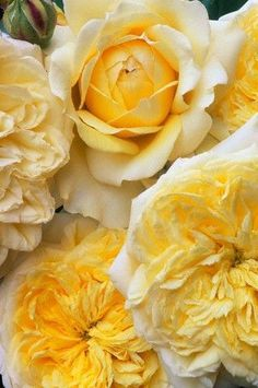 Romantic shades of yellow flowers Love Rose, My Flower, Pretty Flowers, Colorful Roses, Pastel Roses, Shades Of Yellow, Mellow Yellow, Big Yellow, Lemon Yellow