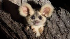 Two new species of greater glider discovered