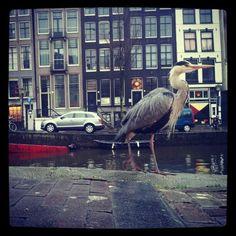 A heron on a stroll in Amsterdam