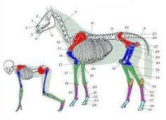 Resultado de imagen de aparat respiratori digestiu cavall