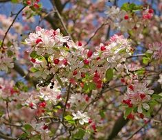 Japanese Crabapple - Sacramento Tree Foundation - another identified as among the crabs planted in '45 by KU.