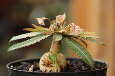 Euphorbia labatii