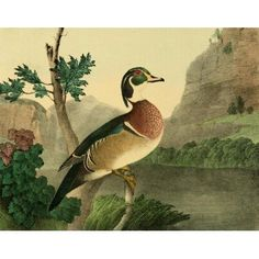 Cabinet of Natural History 1830 Summer Duck Canvas Art - T Doughty (18 x 24)