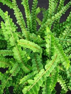Nephrolepsis cordifolia 'Duffi' (Lemon Button fern) - easy, will grow up to tall and wide. Smells slightly like lemons. Container Gardening Vegetables, Succulents In Containers, Container Flowers, Container Plants, Vegetable Gardening, Shade Garden, Garden Plants, Potted Plants, Button Fern