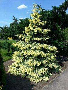 Picea pungens 'Byczkowski'
