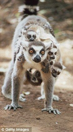 Save the Lemurs! Lemurs named world's most endangered mammals thanks to destruction of their tropical forest habitat on Madagascar