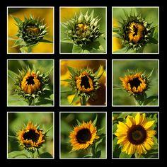Sunflowers by Christian Mair, via 500px