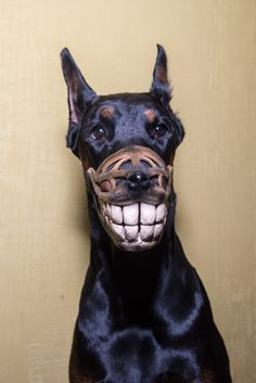 Funny Smiling muzzle for dog, Doberman, Pit Bull, German Shepard, Bull Terrier, Pinscher, Husky funny dog accessory - Smiling dog dobermann by WufWufStore on Etsy https://www.etsy.com/listing/261506815/funny-smiling-muzzle-for-dog-doberman