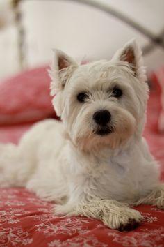 Westie Puppies, Westies, West Highland White, White Terrier, Sand Art, Baby Dogs, Scottie, Dog Photos, Cousins