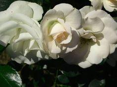 Rosen Stecklinge in Kartoffeln