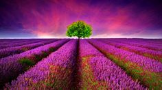 89 Lavender HD Wallpapers | Backgrounds - Wallpaper Abyss