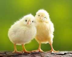 Good Morning Have a chicky day!!!