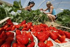The most unusual machines for harvesting berries, fruits and vegetables Berry Picking, Stone Fruit, One Tree, Shake It Off, Food Service, Fruits And Vegetables, Harvest, Garden Design, Berries