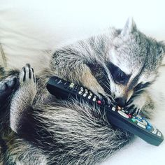 """Dear remote, I just wanted to tell you how much I love you. The way you change channels is amazing, the endless cartoon watching is because of you. Don't ever... 'change'!"" ❤️    raccoon"