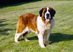 Saint Bernards can weigh up to 200lbs