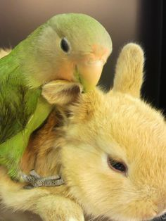 being groomed by my friend the lovebird