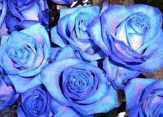 blue roses - Google'da Ara